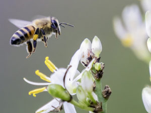 Close up of a flying bee pollinating a white flower